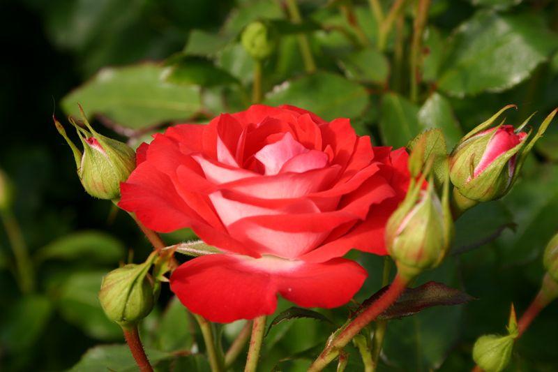 """Résultat de recherche d'images pour """"rosiers leonard de vinci"""""""
