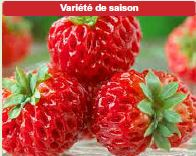 Plants de fraisiers 'Anared'